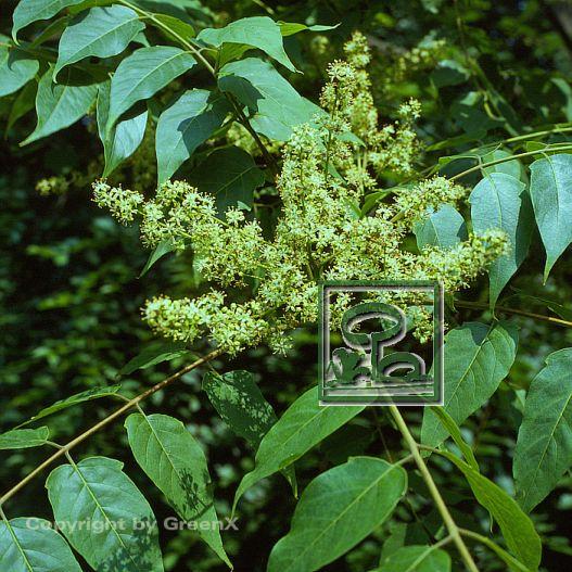 ailanthus altissima bund deutscher baumschulen bdb e v landesverband sachsen. Black Bedroom Furniture Sets. Home Design Ideas