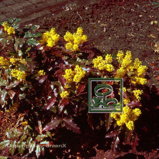 mahonia aquifolium atropurpurea bund deutscher baumschulen bdb e v landesverband sachsen. Black Bedroom Furniture Sets. Home Design Ideas