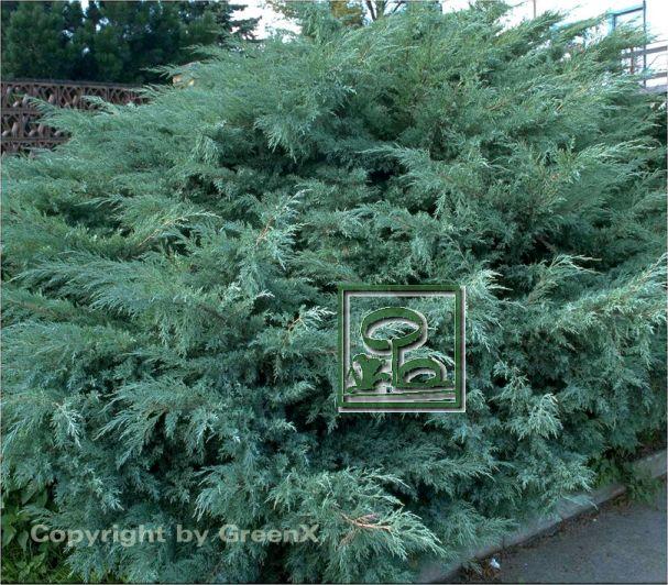 juniperus chinensis hetzii bund deutscher baumschulen bdb e v landesverband sachsen. Black Bedroom Furniture Sets. Home Design Ideas