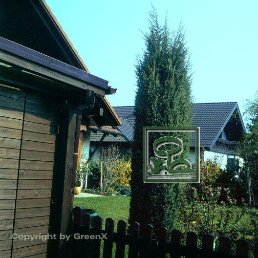 juniperus communis hibernica bund deutscher baumschulen bdb e v landesverband sachsen. Black Bedroom Furniture Sets. Home Design Ideas