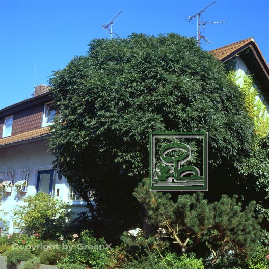 fraxinus excelsior nana bund deutscher baumschulen bdb e v landesverband sachsen. Black Bedroom Furniture Sets. Home Design Ideas