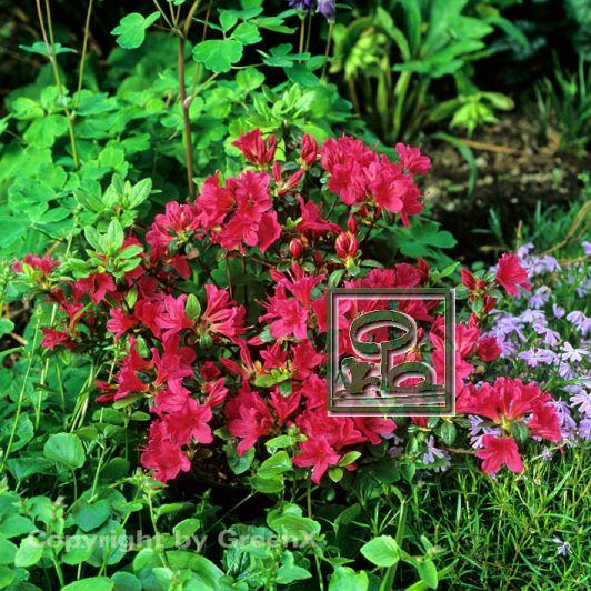 rhododendron japanische azalee sabina bund deutscher baumschulen bdb e v landesverband. Black Bedroom Furniture Sets. Home Design Ideas