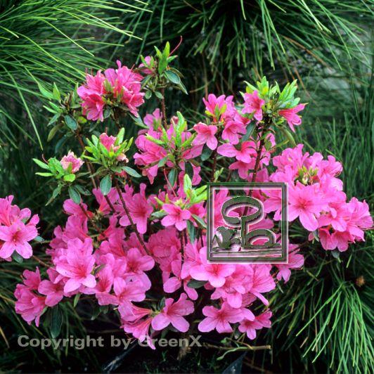 rhododendron japanische azalee madame van hecke bund deutscher baumschulen bdb e v. Black Bedroom Furniture Sets. Home Design Ideas