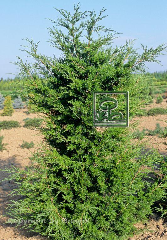 juniperus virginiana schottii bund deutscher baumschulen bdb e v landesverband sachsen. Black Bedroom Furniture Sets. Home Design Ideas